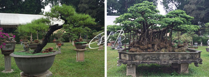Bonsai trees near the entrance of Thang Long