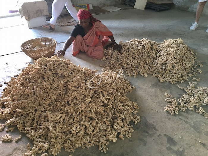 Woman sorting a huge pile of fresh ginger roots
